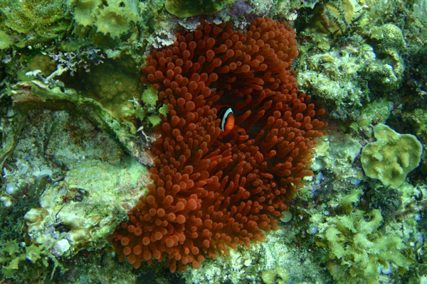 Tomato clownfish anemone - photo#8