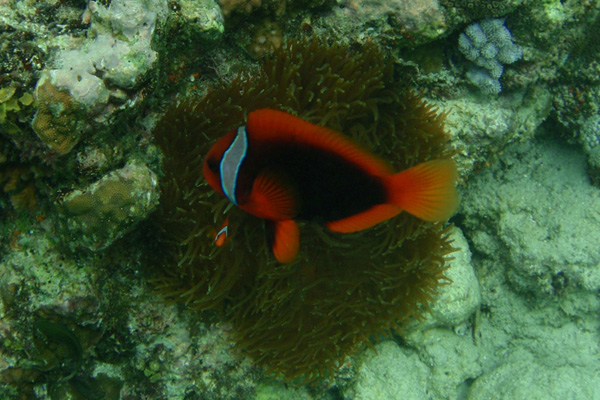 Tomato clownfish anemone - photo#18
