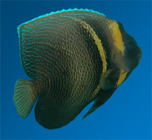 Cortez Angelfish (Pomacanthus zonipectus)