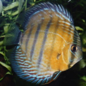 http://www.aquaworldaquarium.com/Articles/TonyGriffitts/images/Cichlids_in_the_Planted_Aquarium/BlueDiscus_300pixels.jpg