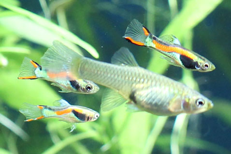 Aquaworld aquarium article endler 39 s livebearer it 39 s a for Endler guppy