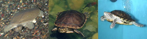 ... soft shell turtle western painted turtle and red ear slider turtle