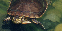General Care for Freshwater Aquatic Turtles